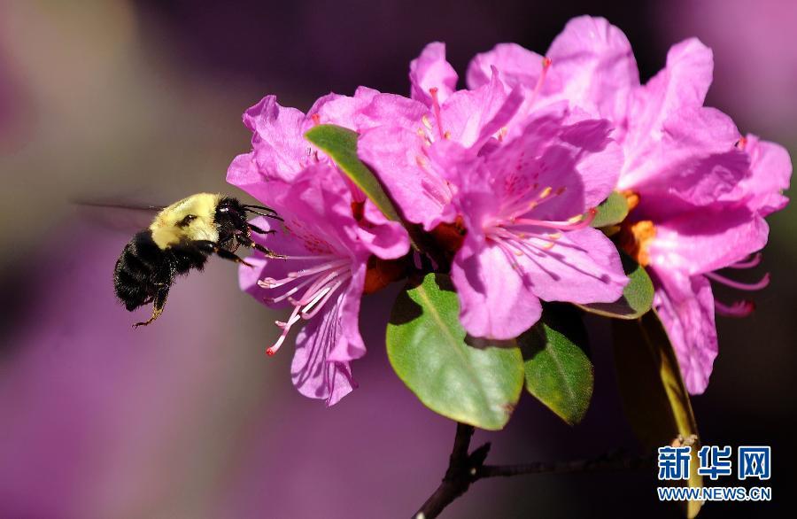 3月27日,在美国纽约中央公园,一只蜜蜂在花丛中采蜜.