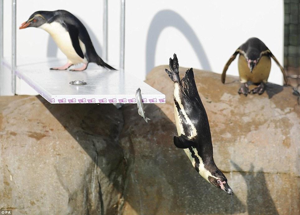 伦敦动物园搭建奥运跳板 企鹅健将一展跳水英姿(组图)