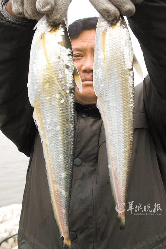 疯狂!刀鱼一斤卖八千