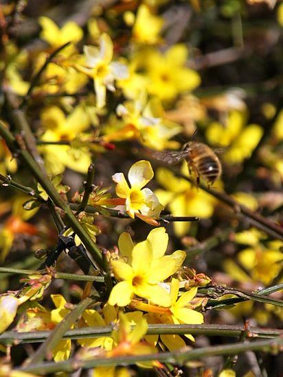 八大关迎春花领衔绽放 实拍小蜜蜂采蜜忙(图)图片
