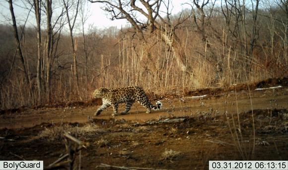 珲春/这是3月26日拍摄的野生东北虎疑似雄虎