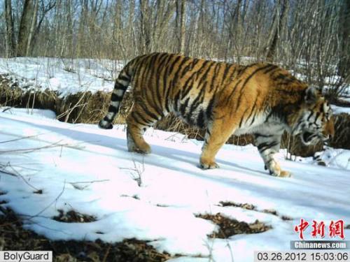 珲春 吉林/吉林珲春拍摄到野生东北虎、远东豹珍贵照片(图)