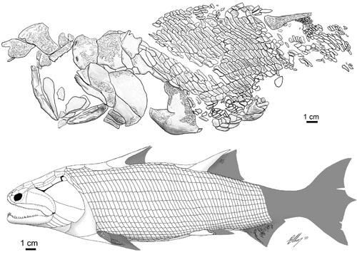 中国鱼化石首次揭示硬骨鱼纲的外骨骼腰带(组图)