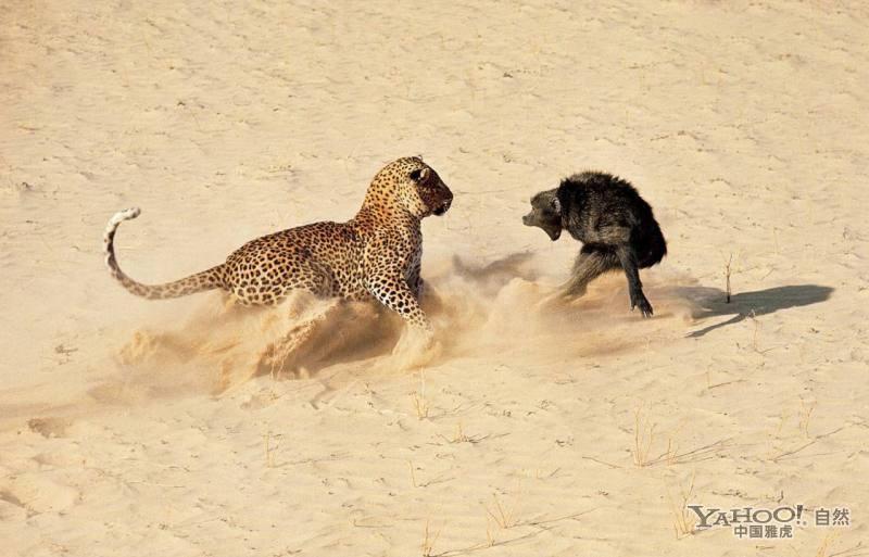 狒狒父亲狮子口下勇救幼崽_疯狂实录:命丧豹口!狒狒惨被豹子开膛(组图)