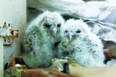 两只猫头鹰宝宝 记者 张路桥 摄