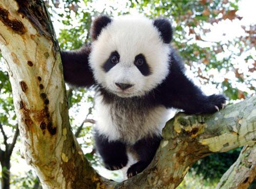 大熊猫全身关节十分灵活,可以像柔术演员一样做各种动作