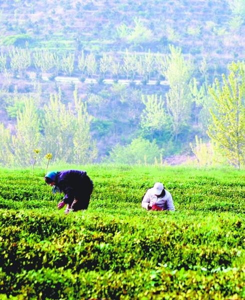 茶园主人殷炳运介绍说,现在茶树已经开始往外冒嫩芽了,茶叶上市时间估