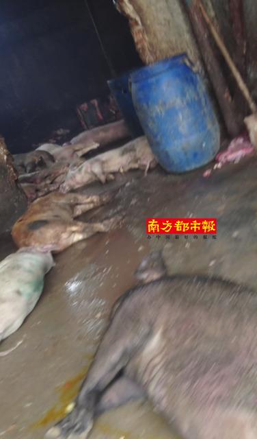 武汉私宰猪肉日产死食品上万斤泡药漂白死窝点安胜猪肉有限公司深圳图片