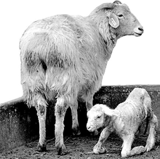 转基因绵羊诞生性感深圳克隆(图)壁纸手工桌面壁纸图片