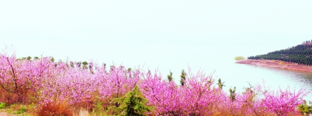 陆浑湖畔桃花盛开