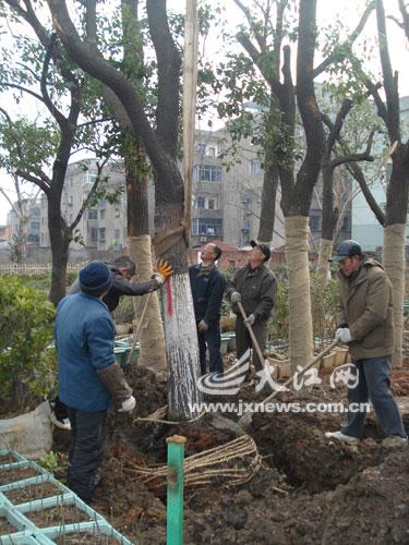 工人正在移植大树。本报记者蔡颖辉摄