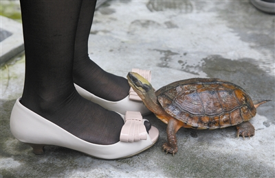 """金钱龟,这种名贵的动物,今后有望成为一条产业链,带动东莞成为""""名龟大都会""""。"""