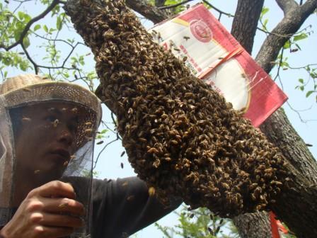 分蜂季节,牧蜂人正在收跑掉的蜂群