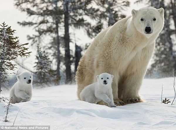 北极熊妈妈带幼崽游戏风雪(图)鹦鹉挑战是哪个国家的图片