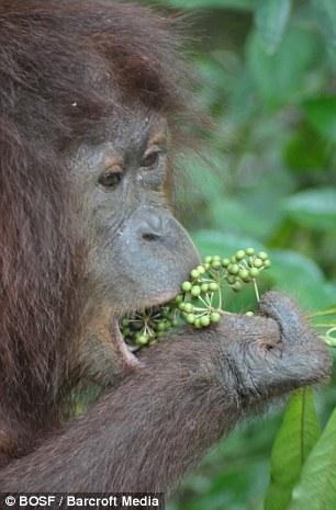 印尼红毛猩猩重返野外家园(组图)
