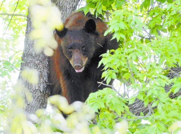 不久后赶到校园的野生动物管理部门工作人员考虑到直接将黑熊弄下树会
