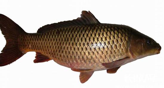 滦河红鲤鱼. 源自网络