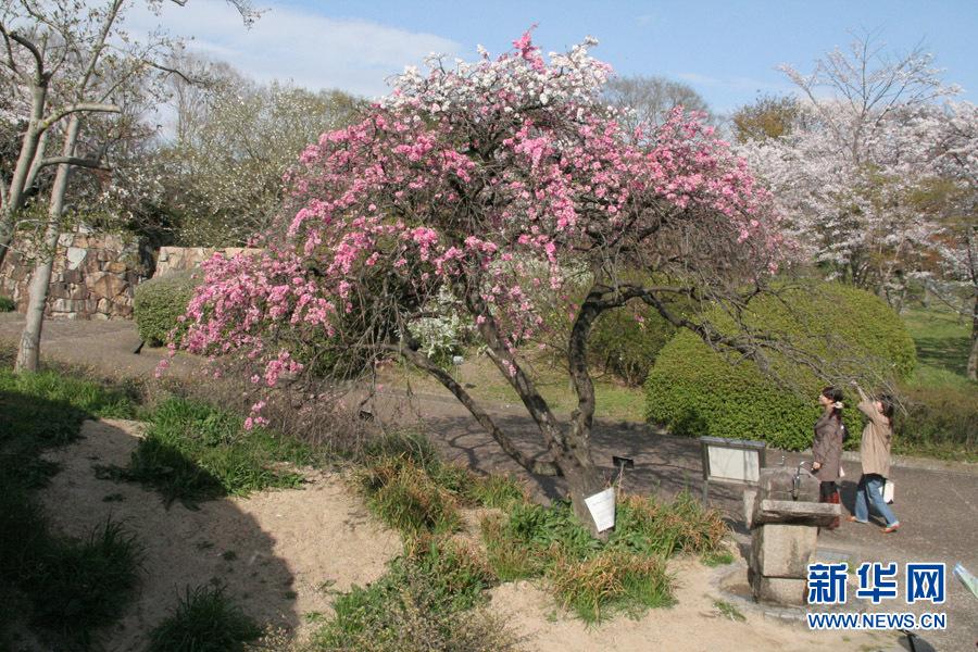京桃树开花图片
