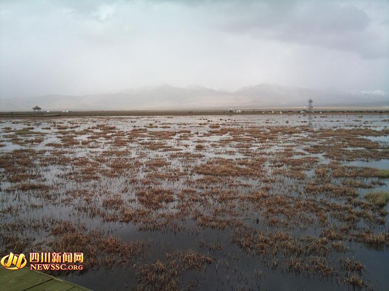 四川新闻网阿坝5月4日讯(记者 侯青伶)   作为我国三大湿地之一的若尔盖湿地还是全世界最大的高原泥炭湿地。湿地蓄水总量近100亿立方米,泥炭总储量达70亿立方米,在调节气候、保持水土、减少温室效应等方面具有不可替代的作用,素有中华水塔和中国西部高原之肾之誉。   由于生态环境脆弱,若尔盖湿地严重退化。近年来地下水位下降,造成了大量的水湿沼泽消失或者退化成半湿沼泽或干沼泽。加之鼠、虫害严重,加剧了草场退化和沙化进程。据统计,若尔盖县已经有近10万公顷草地沙化,每年平均以11.