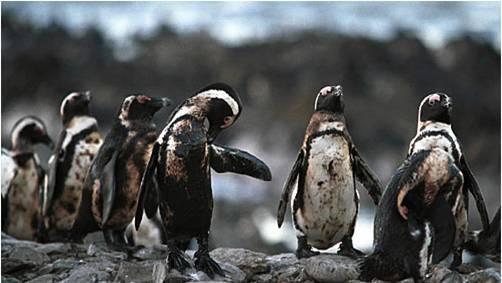 漏油会严重威胁南极生态环境,图为满身油污的南极企鹅(资料图)