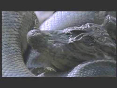 恐怖 尸体/恐怖巨蟒竟吃腐坏尸体 津津有味吞食鳄鱼尸体