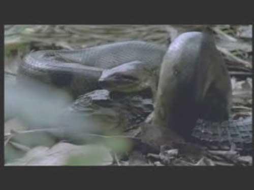 恐怖 尸体/恐怖巨蟒竟吃腐坏尸体 津津有味吞食鳄鱼尸体...