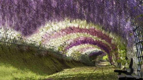 多姿多彩的紫藤隧道