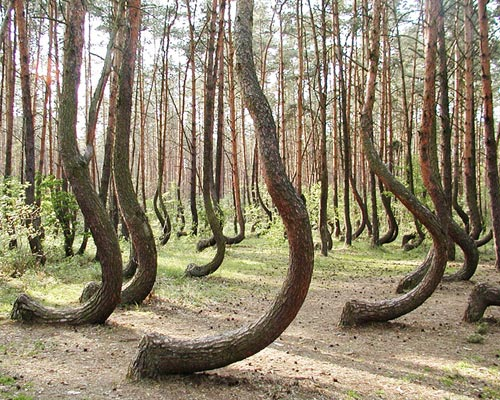 (The-Crooked-Forest)弯曲森林