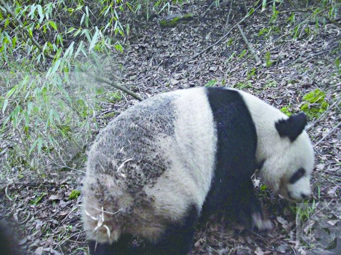 小河沟省级自然保护区位于平武县境内,是以保护大熊猫等珍稀野生动物