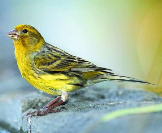 壁纸 动物 鸟 鸟类 雀 550_451
