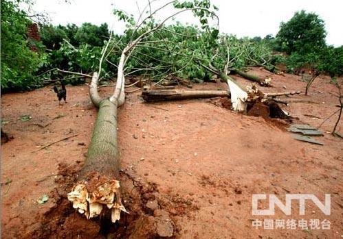 5月19日凌晨,一场罕见的8级以上雷雨大风突袭江西,数十亩苗圃风景树被连根拔起。