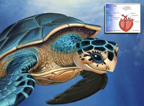 三轮车控制器接线图解-5、海龟的心脏可以独立活得很久   鱼、爬行类、鸟类和哺乳动物的心图片