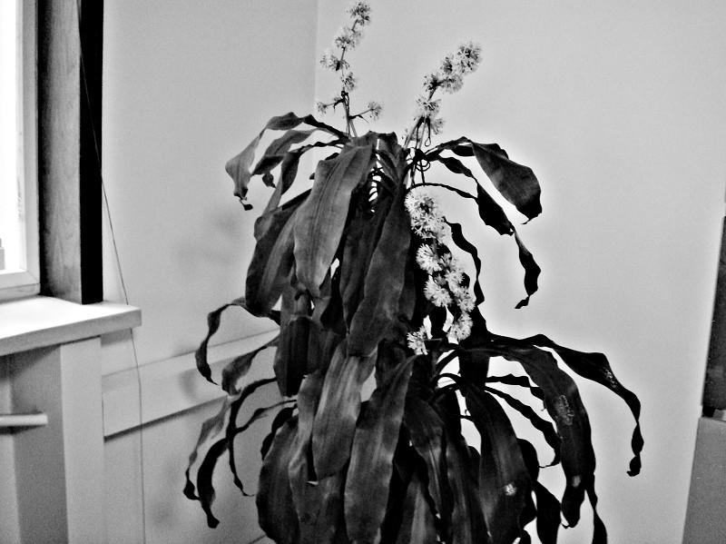 花香 浓郁 巴西木/巴西木的花香很浓郁,但对身体无害,分泌出的汁液还有止血等药用...