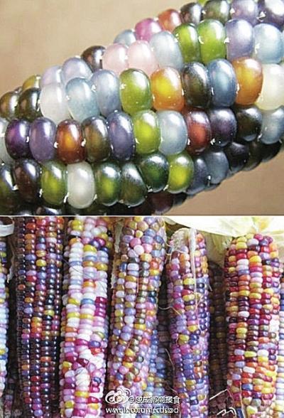 条琉璃40部种子_从印第安老人手中获得了一种神奇的种子,栽培出了如琉璃珠一样的玉米.