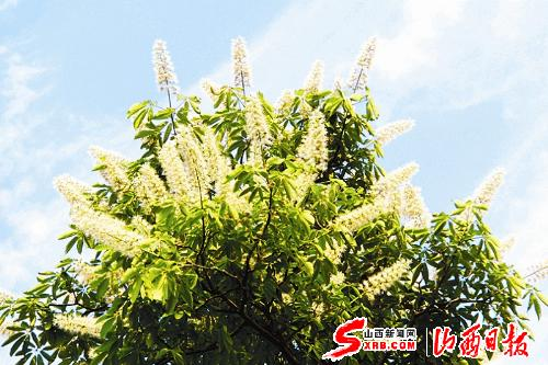 五月动情色五月_花蕾米黄色,似槐花.花瓣洁白似蝶,靠近蒂部可见黄,红,绿不同颜色.