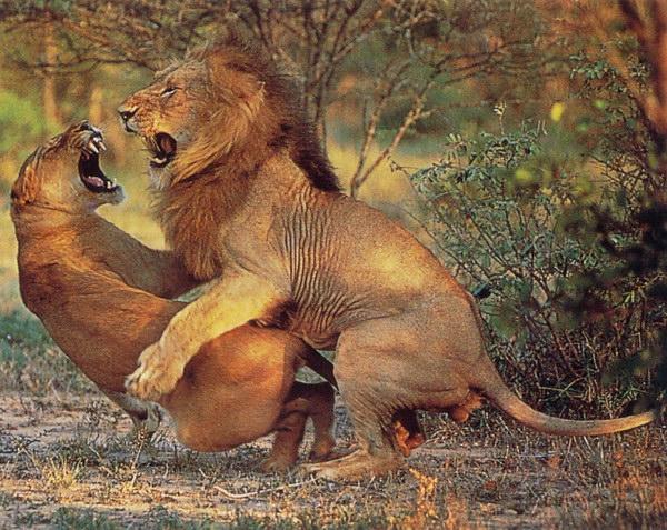 性行为人与兽_在奇趣大自然中动物性行为比起人类已经规范化了的,被道德与习俗