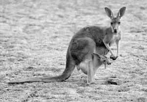 袋鼠宝宝等着你来呢-让孩子和动物宝宝一起过节吧