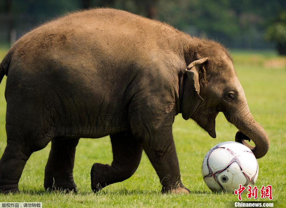 英国聪明大象踢足球展现娴熟技艺(组图)