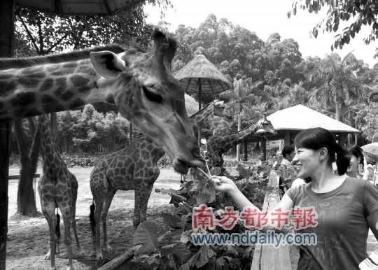 香江野生动物世界,一位女游客在给长颈鹿喂树叶