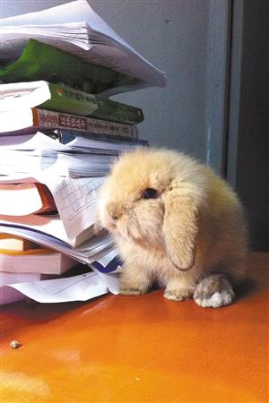 桃子养的棕兔。