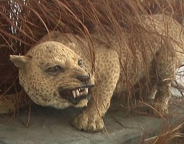 最猛的豹_巴西美洲豹河边突袭鳄鱼并成功猎杀