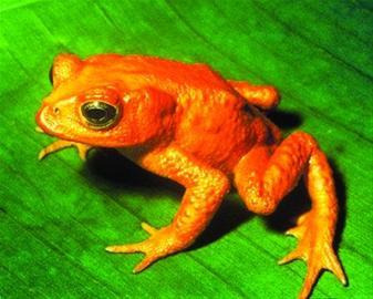 一般认为,造成金蟾蜍灭绝的主要原因是全球变暖和环境污染图片