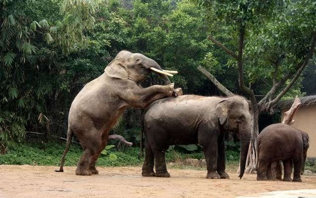 令人瞠目结舌的大象交配 采用后进入性交体位【组图】