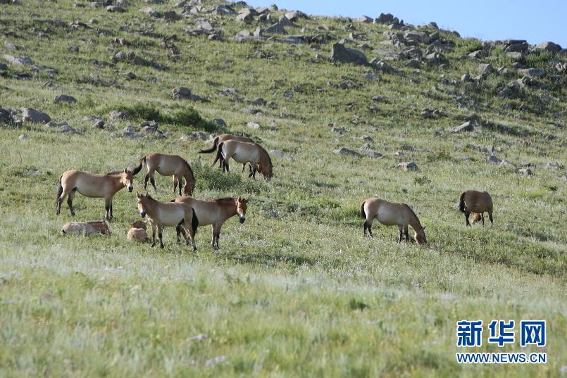 濒临灭绝的蒙古野马从荷兰的动物园空运到