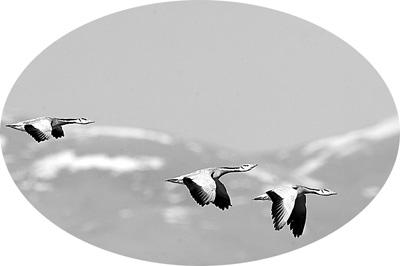 空中翱翔的斑头雁