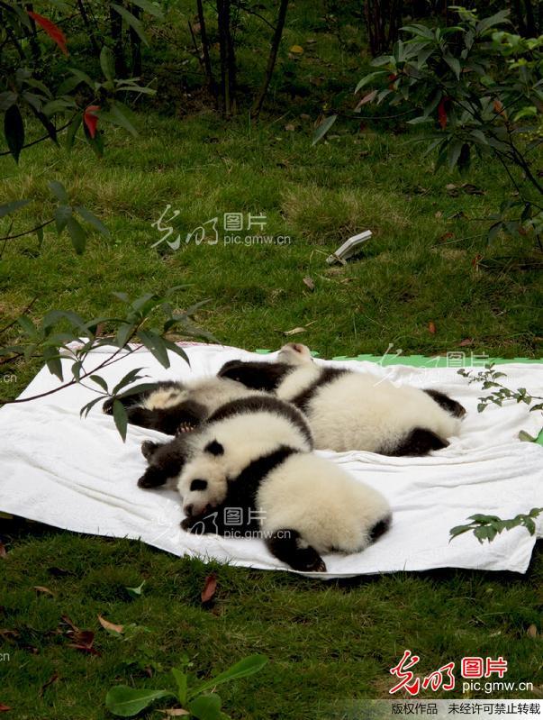 熊猫崽晒太阳:难得的晴天 -熊猫 萌 崽