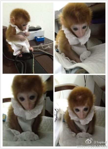 可以养的猴子图片