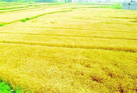 小麦一派丰收景象图片