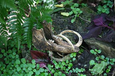 猪牙近照(两边紫色的树叶为kauis叶)图片