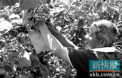 山东栖霞市果农在给苹果套袋。新华社发
